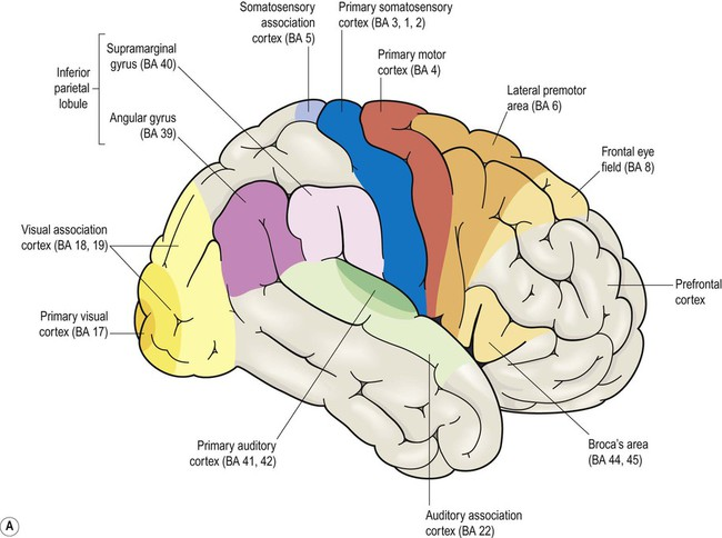 Cognitive Neuroscience Diagram depicts the broad sections of the brain that influence cognitive behavior.